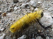 Dennis Pintoski - Fuzzy Yellow Caterpillar
