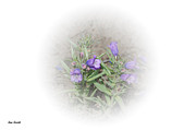 Sue Smith Prints - Fuzzytongue Penstemon Print by Sue Smith
