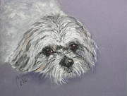 Shih Tsu Framed Prints - Gabby Framed Print by Cori Solomon