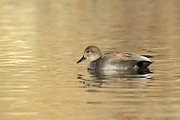 Ruth Jolly - Gadwall on Golden lake
