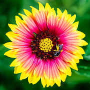 Jacksonville Arboretum Prints - Gaillardia and a Bee Print by Dawna  Moore Photography