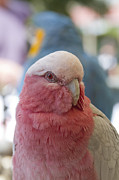 Cockatoo Metal Prints - Galah - Eolophus roseicapilla - Pink And Grey - Rose Breasted Cockatoo Metal Print by Sharon Mau