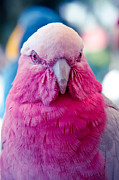 Cockatoo Metal Prints - Galah - Eolophus roseicapilla - Pink And Grey - Roseate Cockatoo Maui Hawaii Metal Print by Sharon Mau