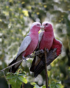 Galah Cockatoo Prints - Galah Lovebirds Print by Heng Tan