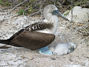 Brown Booby Prints - Galapagos Blue Footed Booby Egg and Chick Print by Eva Kaufman