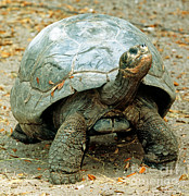 Nigra Photos - Galapagos Giant Tortoise by Millard H. Sharp