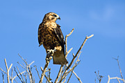 Sally Weigand - Galapagos Hawk