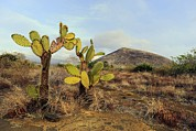 Galapagos Prickly Pear (opuntia Echios) Print by Science Photo Library