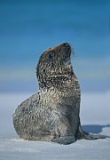 Galapagos Sealion Prints - Galapagos Sea Lion Print by Chris Scroggins
