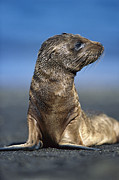 Tui De Roy - Galapagos Sea Lion Pup...