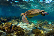 Green Sea Turtle Photos - Galapagos sea turtle underwater by Paul Kennedy