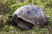 Sally Weigand - Galapagos Tortoise...