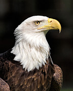 National Symbol Prints - Gallant Print by Dale Kincaid