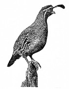 White River Drawings Prints - Gambel Quail Print by Jack Pumphrey