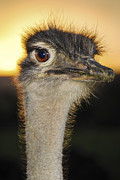 Ostrich Photo Framed Prints - Gangnam Style Framed Print by Skip Hunt