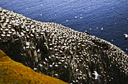 Flying Photos - Gannets at Cape St. Marys Ecological Bird Sanctuary by Elena Elisseeva