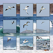 Sennen Cove Posters - Gannets Galore Poster by Terri  Waters