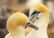 Max Allen - Gannets Grooming In...