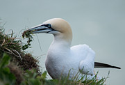 Keith Thorburn - Gannets