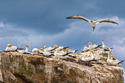 Cape Metal Prints - Gannets New Zealand Metal Print by Colin and Linda McKie