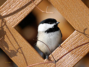 Bird Feeding Posters - Garden Chickadee Poster by Christina Rollo