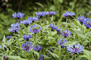 Cornflower Prints - Garden Cornflowers Print by Donald Davis