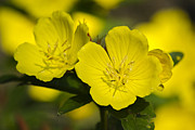 Garden Digital Art Metal Prints - Garden Flowers - Evening Primrose Metal Print by Christina Rollo
