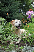 Happy Labrador Prints - Garden Guard Print by Gerald Marella