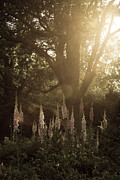 Foxglove Flowers Photos - Garden Light by Chris Scroggins