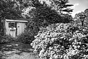 Azalia Bushes Prints - Garden Shed Print by Keith Woodbury