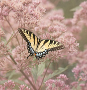 Tiger Swallowtail Prints - Garden Visitor - Tiger Swallowtail Print by Kim Hojnacki