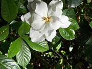 Gardenias Photos - Gardenia by Annette Allman