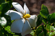 Gardenia Photos - Gardenia at Twilight 2 by Douglas Barnett