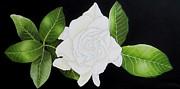 Carol Sabo - Gardenia Flower