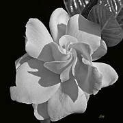 Cindy Manero - Gardenia in BW