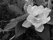 Gardenias Photos - Gardenia in Spring by Annette Allman