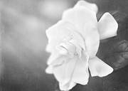 Gardenia Photos - Gardenia in the Sunlight by Jessie Gould