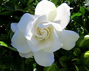 Flowers Photo Originals - Gardenia jasminoides by Zulfiya Stromberg