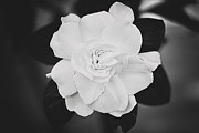 Gardenia Photos - Gardenia by Jessie Gould