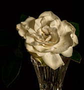 Gardenia Photos - Gardenia by Rick Barnard