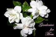 Dorothy Menera - Gardenias For Mom
