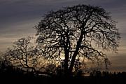 Garry Oak Sunset Print by Inge Riis McDonald