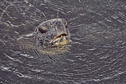 Green Sea Turtle Photos - Gasp for Air by Douglas Barnard