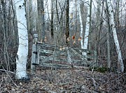Gate And Birches Print by Randi Shenkman