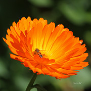 Strawflower Photos - Gathering Nectar All the Day Long by Suzanne Gaff