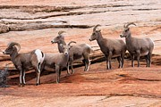 Big Horn Sheep Photos - Gathering Of The Boys by Adam Jewell