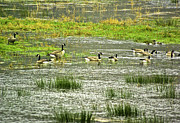 Canadian Marsh Prints - Gathering of the Geese Print by Dale Stillman