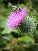 Bull Thistle Posters - Gathering Pollen Poster by Chalet Roome-Rigdon