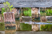 Grass Reflection Framed Prints - Gator at the Old Trestle Framed Print by Scott Hansen