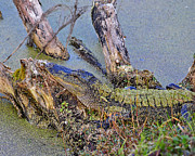 American Alligator Prints - Gator Camo Print by Al Powell Photography USA